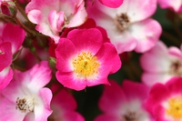 Vine rose of Mozart Stock photo [3216784] Mozart