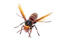 Asian giant hornet Stock photo [3217243] Hornet