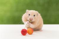 Kinkuma hamster eating cherries Stock photo [3217618] Eat