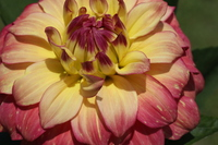Expansion of colorful dahlia Stock photo [3224131] Dahlia