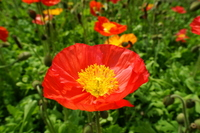 Iceland poppy Stock photo [3228521] Poppy