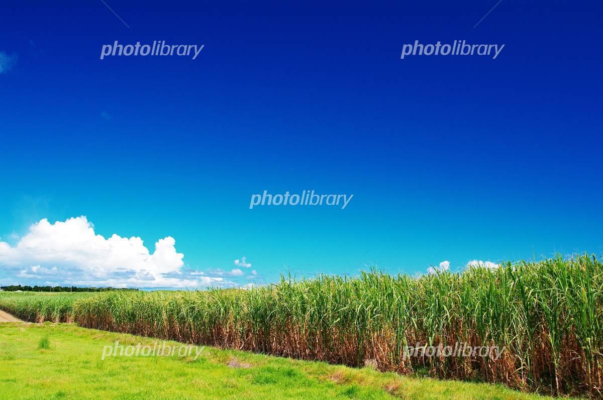 Okinawa Haterumajima sugarcane fields Photo