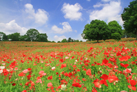 Poppy field Stock photo [3315837] Poppy