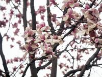 Calico magnolia Stock photo [3318811] Calico
