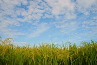 Autumn sky and rice Stock photo [3320174] Tohoku