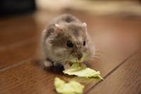 Djungarian Hamster Stock photo [3325549] Hamster