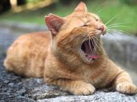 Yawn Cat Stock photo [3326733] CAT
