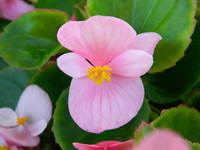 Up of pink begonia flowers Stock photo [3327040] Begonia