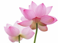Lotus Flower Stock photo [3411155] Lotus