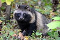 Raccoon raccoon raccoon dog Tanuki Stock photo [3412487] Raccoon