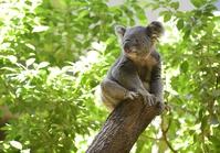 Koala Stock photo [3514255] Koala