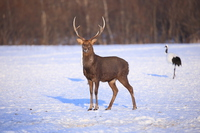 Sika deer, which appeared in a snowy field Stock photo [3516168] Animal
