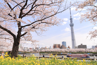 Sakura and Sky Tree Sumida River pleasure boat Stock photo [3516598] Rape