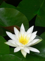 White water lily Stock photo [3516862] Water