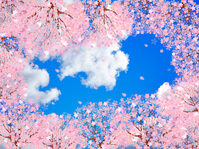 Cherry blossom background [3617146] Cherry
