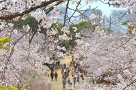 Nishikoen of Fukuoka Hanami Stock photo [3619241] Cherry