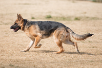 German shepherd Stock photo [3621338] German