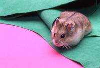 Hamster Stock photo [109348] Hamster