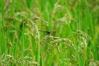 Natsuakane Stock photo [3717524] Dragonfly