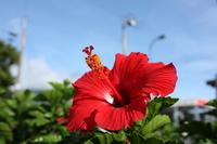 Red hibiscus Stock photo [3717567] Hibiscus