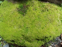 Rock that was wrapped in moss Stock photo [3717792] Moss