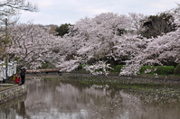 Kamakura Tsuruoka Hachiman Genpei pond and cherry Stock photo [3717796] Tsuruoka