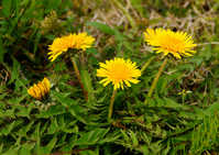 Collateral ho Stock photo [3719021] Dandelion