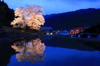 Nursery Sakura Stock photo [3728007] Gifu