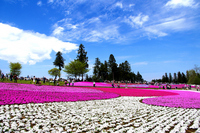 Hitsujiyama park ? phlox Stock photo [3729133] Phlox