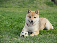 Ball play is love Shiba Inu Stock photo [3729518] Shiba