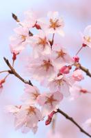 Sakura (ascendens) Stock photo [3730575] Cherry