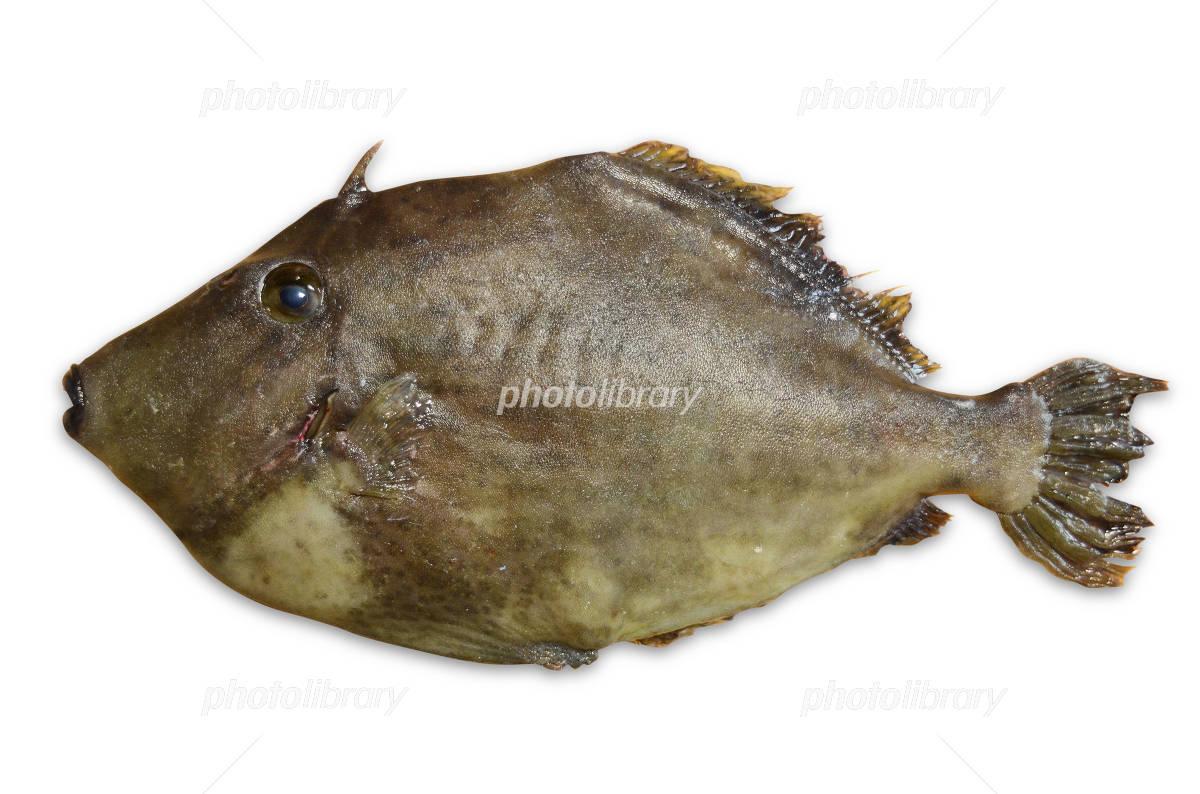 Threadsail filefish Photo