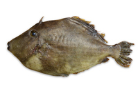 Threadsail filefish Stock photo [3832435] Threadsail
