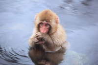 Jigokudani Monkey Park hot springs monkey Stock photo [3837235] Monkey