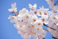 Blue sky and cherry Stock photo [3839681] Cherry