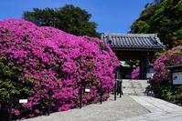 There temple gate fence azalea bloom AnYo-in Stock photo [3935115] Yes