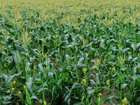 Cornfield Stock photo [3939647] corn