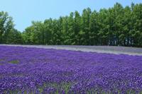 Lavender fields Stock photo [3939685] Farm