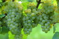Wine grapes (Chardonnay) Stock photo [4021353] Grapes
