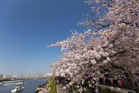 Sumida Park cherry blossoms in full bloom Stock photo [4022456] Sumida
