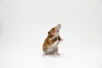 Golden hamsters of Frisbee Stock photo [4023266] Hamster