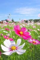 Showa Memorial Park Cosmos Festival Stock photo [4024452] Cosmos