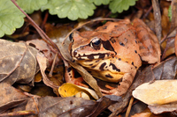 Mountain Rana Stock photo [4024802] Frog