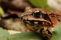 Mountain Rana Stock photo [4024814] Frog