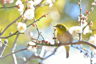 White plum and white-eye Stock photo [4027976] White-eye