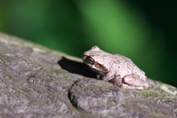 Gray-brown protective coloration of the Japanese tree frog Stock photo [4029693] Japanese