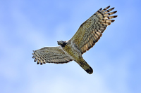 Honey buzzard adult birds Stock photo [4031103] Honey
