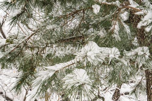 松と雪 写真素材 [ 4783592 ] - フォトライブラリー photolibrary