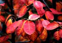 ジュンベリーの紅葉