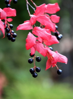 ナツハゼの紅葉と黒い実
